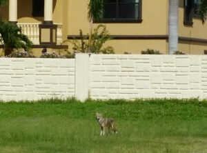 A coyote in Redington Shores